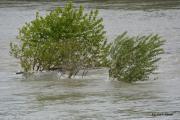 photo paysages crue du rhone arbre : Arbre résistant au courant du Rhône