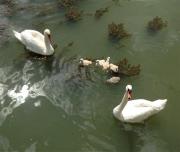 photo animaux cygnes tubercules rhone fleuve oiseaux : Famille de cygnes sur le Rhône