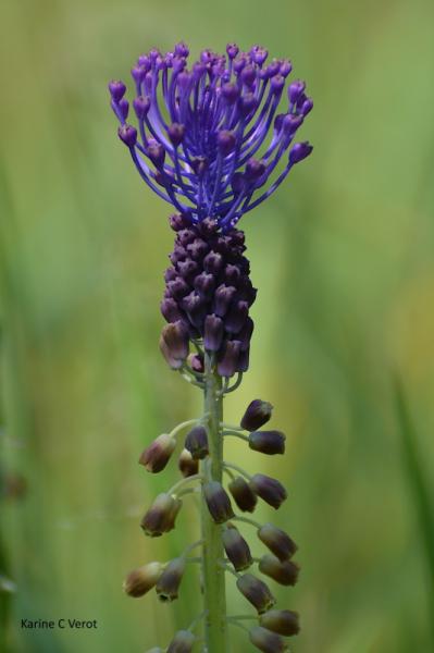 PHOTO mauve fleur Muscari à toupet Muscari comosum Fleurs  - Muscari à toupet