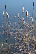 photo fleurs massette ,a feuilles etroites : Massettes au bord d'un étang
