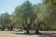 photo paysages oliviers sardaigne : Champ d'oliviers