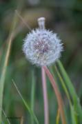 photo fleurs pappus pissenlit : Pappus de pissenlit