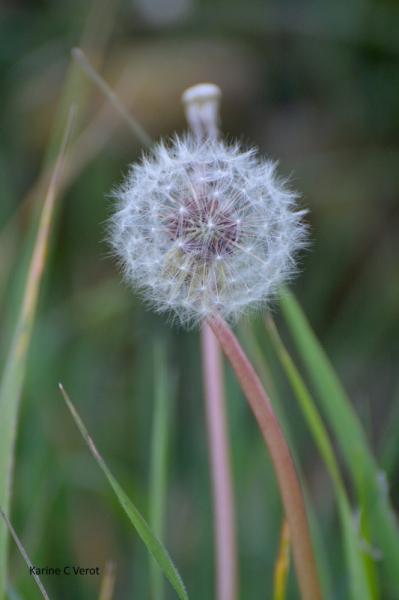 PHOTO Pappus Pissenlit Fleurs  - Pappus de pissenlit