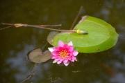 photo fleurs nenuphar : Nénuphar rose