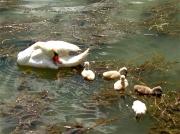 photo animaux cygneaux cygnes tubercules rhone fleuve oiseaux : Cygne tuberculé et ses cygneaux