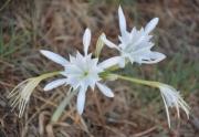 photo fleurs lis des sables pancratium maritimum sardaigne : Lis maritime