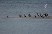 photo animaux cormorans : Cormorans sur un banc de sable