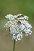 photo fleurs hymenopteres achillee millefeuille : Hyménoptères sur les fleurs d'une achillée millefeuille