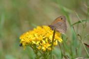 photo animaux guede myrtil isatis tinctoria : Myrtil sur une guède