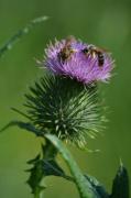 photo animaux guepe chardon fleur : Guèpes sur une fleur de chardon