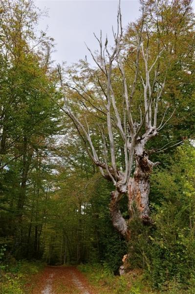 PHOTO arbre têtard sous-bois Vercors Paysages  - Arbre mort au bord d'un chemin