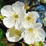 photo fleurs cerisier fleur : Fleurs du cerisier