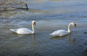 photo animaux cygnes tubercules : Couple de cygnes tuberculés sur le Rhône