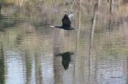 photo animaux : Cormoran en vol