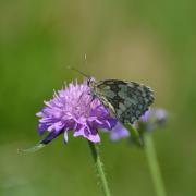 photo animaux demideuil melanargia galathea centauree papillon : Demi-deuil sur une centaurée