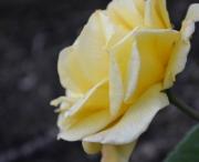 photo fleurs rose jaune fleur : Rose jaune