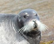 photo animaux mer blanche arctique solovetsky russie : Lion de mer