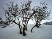 photo paysages figuier neige : figuier sous la neige