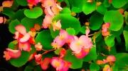 photo fleurs fleur jardin begonia botanique : Bégonia