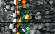 photo fruits oranges oranger fruit : Oranges