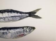 tableau animaux poisson sardine mer : Sardines