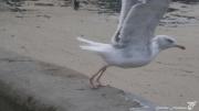 photo autres goeland oiseau marin granville normandie : COMME UN ÉCLAIR