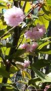 photo fleurs fleurs prunier japonais arbre : FLEURS DE PRUNIER JAPONAIS