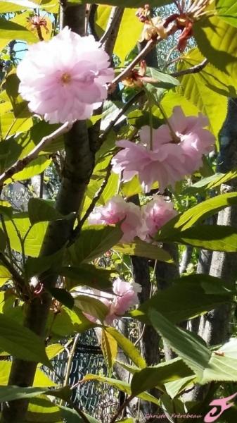 PHOTO FLEURS PRUNIER JAPONAIS ARBRE Fleurs  - FLEURS DE PRUNIER JAPONAIS