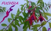 photo fleurs fuschia fleurs arbrisseau rose : FUCHSIA