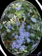 mixte fleurs ceanothes lilas de californie fleurs arbustes : CÉANOTHES
