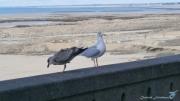 photo autres goelands oiseaux marins granville normandie : CHASSÉ-CROISÉ
