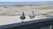 photo autres goelands oiseaux marins granville normandie : BIENVENUE