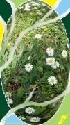 mixte fleurs paquerettes fleurs plantes herbes : PÂQUERETTES
