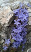 photo fleurs campanules petites cloches fleurs plante : CAMPANULES