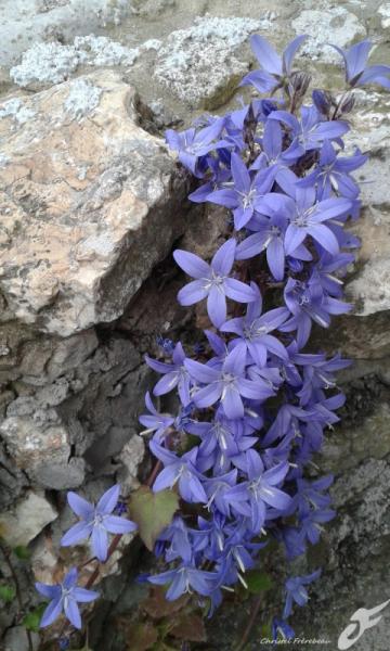 PHOTO CAMPANULES PETITES CLOCHES FLEURS PLANTE Fleurs  - CAMPANULES