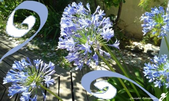 MIXTE AGAPANTHES AGAPANTHUS LIS DU NIL TUBEREUSE BLEUE Fleurs  - AGAPANTHES