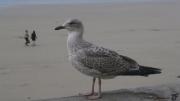 photo autres goeland oiseau marin granville normandie : JEUNE GOÉLAND (OU GRISARD)