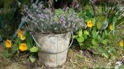 photo fleurs fleurs de thym serpolet farigoule jardin : FLEURS DE THYM
