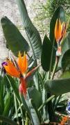 photo fleurs oiseaux de paradis fleurs strelitzia : OISEAUX DE PARADIS FLEURIS
