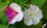 photo fleurs belle de nuit merveille du perou fleurs ete : BELLE-DE-NUIT (Fleurs)