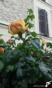 photo fleurs rose ameilland hybride de the symbole de paix : ROSIER DE LA PAIX
