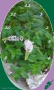mixte fleurs menthe horloge plante jardin : MENTHE