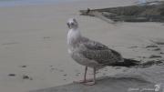 photo autres goeland oiseau marin granville normandie : FACE A FACE
