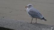 photo autres goeland oiseau marin granville normandie : GOÉLAND ARGENTÉ