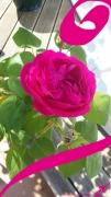 mixte fleurs rose printemps fleur jardin : ROSE DE PRINTEMPS