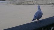 photo autres goeland oiseau marin granville normandie : BALADE