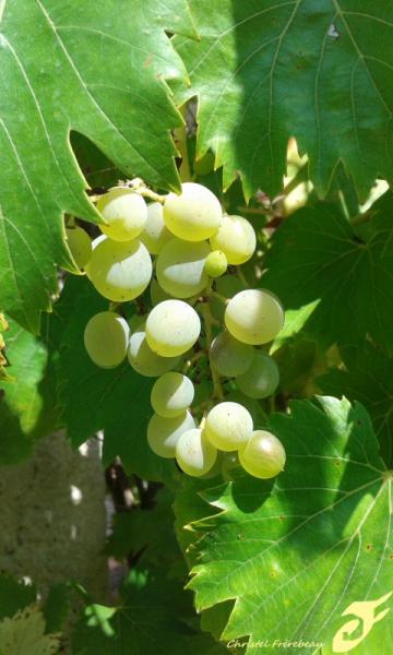 PHOTO RAISIN GRAPPE ETE JARDIN Fruits  - RAISIN VERT