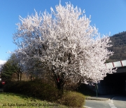 photo fleurs arbre en fleur blossoming tree lichelm photos : ARBRE EN FLEUR