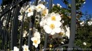 photo fleurs grille noire black grid lichelm photos artist savoie : GRILLE NOIRE