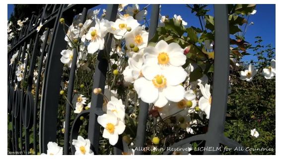 PHOTO GRILLE NOIRE BLACK GRID LICHELM PHOTOS ARTIST SAVOIE Fleurs  - GRILLE NOIRE